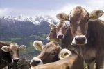 cows-farm
